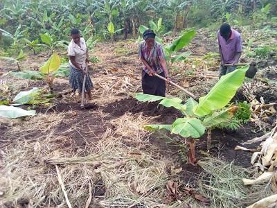 Obstplantage Uganda