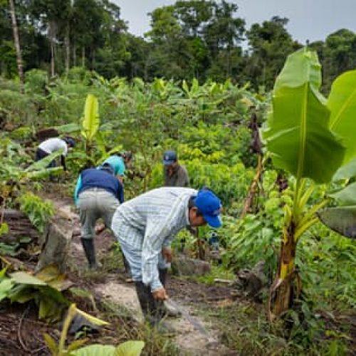Bananenstauden auf der Lehrfarm von ACELPA (Bildrechte GLS Zukunftsstiftung Entwicklung)